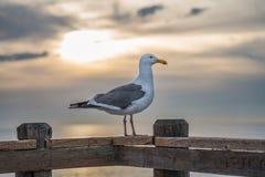 Seagullsammanträde på räcket av en träpir med solnedgången arkivfoton