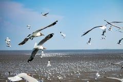 Seagullsfågel på havet Bangpu Samutprakarn Thailand Fotografering för Bildbyråer
