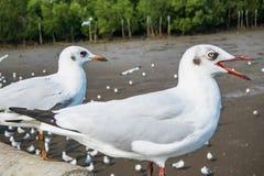Seagullsfågel på havet Bangpu Samutprakarn Thailand arkivfoto