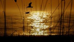 Seagullsilluettes som fångas under soluppgång Royaltyfri Bild