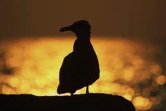 Seagullsiluett Royaltyfri Fotografi