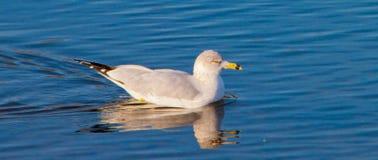 seagullsimning arkivfoton