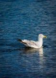 Seagullsimning i vattnet Arkivbilder