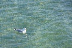 Seagullsimning på vattnet Royaltyfria Bilder