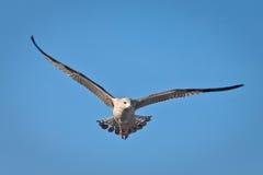 seagullsky Royaltyfri Bild
