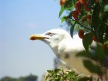 Seagullsna och lantanaen Arkivfoto