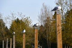 Seagullsna på strandvolleyball netstolpen royaltyfria foton