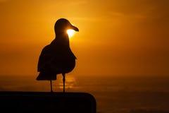 Seagullsolnedgång Arkivfoto
