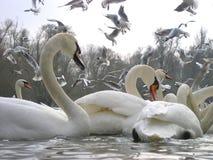 seagullsswans Royaltyfri Fotografi