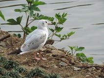 Seagullställning på flodstranden Royaltyfria Foton