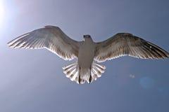 seagullsun Royaltyfria Bilder