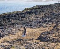 Seagullvingar spridda Corralejo Royaltyfri Bild