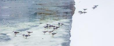 Seaguls在布加勒斯特,冰的 免版税库存照片