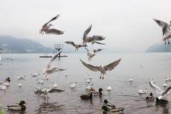 Seaguls και πάπιες που παλεύουν πέρα από τα τρόφιμα στοκ φωτογραφία