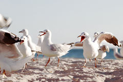 Seaguls Royalty Free Stock Photo
