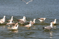 Seaguls in the Black Sea Royalty Free Stock Photography