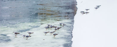 Seaguls in Bucharest, on ice Royalty Free Stock Photos
