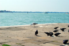Seaguls and doves. In Venice, Italy Stock Image