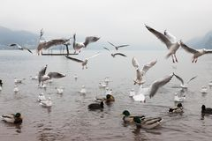 Seaguls and Ducks fighting over food stock photography