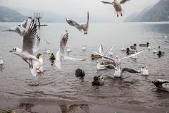 Seaguls and Ducks fighting over food royalty free stock image