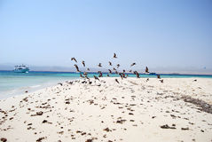 Seaguls on the Egyptian beach. Seaguls flying on Egyptian sandy beach Royalty Free Stock Image