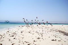Seaguls on the Egyptian beach. Seaguls flying on Egyptian sandy beach royalty free stock image