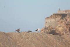Seaguls en la arena Imagen de archivo libre de regalías