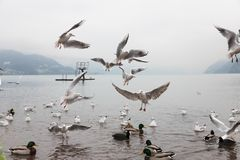 Seaguls et canards combattant au-dessus de la nourriture photographie stock