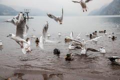 Seaguls et canards combattant au-dessus de la nourriture image libre de droits