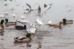 Seaguls et canards combattant au-dessus de la nourriture photos stock