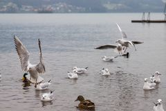 Seaguls et canards combattant au-dessus de la nourriture photo libre de droits