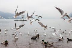Seaguls et canards combattant au-dessus de la nourriture images libres de droits