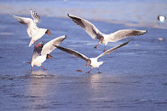 Seaguls fighting over food Royalty Free Stock Photo