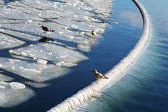 Seaguls op ijs Stock Foto's