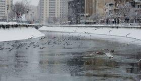 Seaguls på den Dambovita floden, Bucharest Royaltyfria Bilder