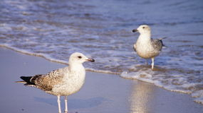 Seaguls Royalty Free Stock Image