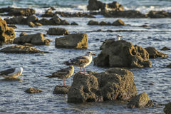 Seaguls at the rocky shore Royalty Free Stock Photography