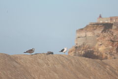 Seaguls in the sand. With a houselight of Nazaré as background - Portugal Royalty Free Stock Image