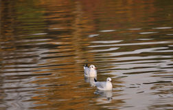 Seaguls swim in a river Stock Photography