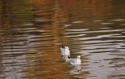 Seaguls swim in a river. Birds seagul swim in a river in autumn Stock Photography