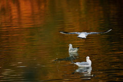 Seaguls swim in a river Stock Photo