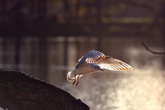 Seagulsl flying. Seagulls flying, beautiful feather under the sunset Royalty Free Stock Photos