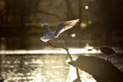 Seagulsl flying Stock Image