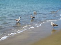Seagulsl on ocean grey beach royalty free stock photos