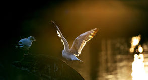 Seagulsl stand in a wood. Seagulls stand in a wood, beautiful feather under the sunset Stock Images