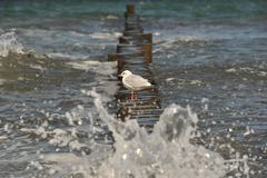 Seaguss. A seagull is sitting at the coast of the baltic sea Royalty Free Stock Photo