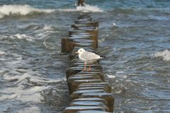 Seaguss. A seagull is sitting at the coast of the baltic sea Royalty Free Stock Photography