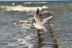 Seaguss. A seagull is starting at the coast of the baltic sea Stock Image