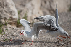 Seaguuls feeding. Two seaguls feeding with fish on the slovenian Adriatic cost Royalty Free Stock Photography