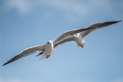 Seaguuls pair with spread wings Stock Photos